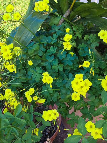 Spring yellow flowers vibrant  photo