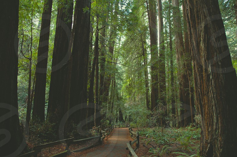 Nature trail Redwoods photo