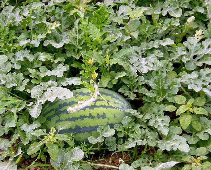 Watermelon in garden photo