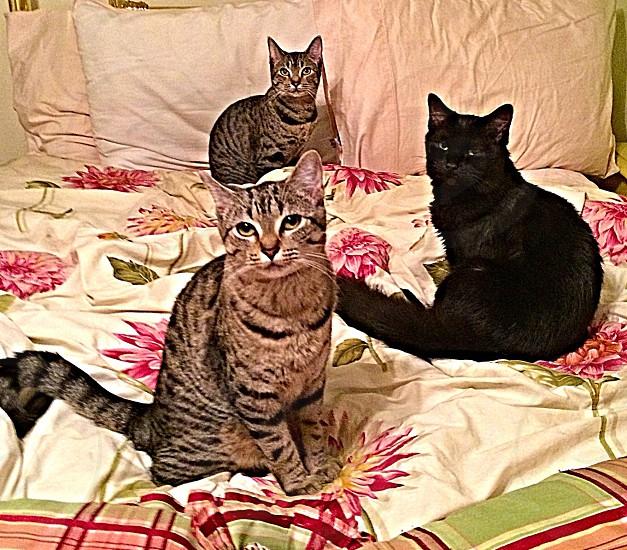 gray and black tabby cat photo
