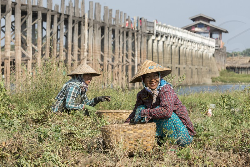 a peanuts plantation at the u bein bridge in Amarapura near the City of Mandalay in Myanmar in Southeastasia. photo