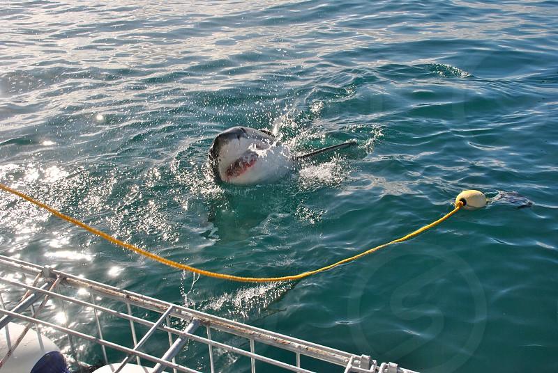dolphin in blue sea photo
