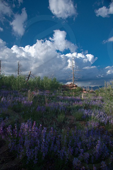 hayman fire forest forest fire aftermath regrowth rebirth flowers regeneration understory burn manmade spring green purple clouds renewal cover burn burnt colorado revegetation hayman fire wildflowers topsoil erosion photo