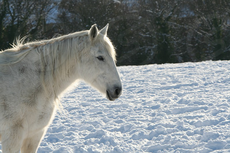 White horse in the snow photo