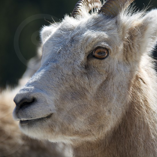 Female Bighorn Sheep Banff Alberta Canada photo