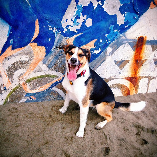 white brown and black short haired medium sized dog with tongue out photo