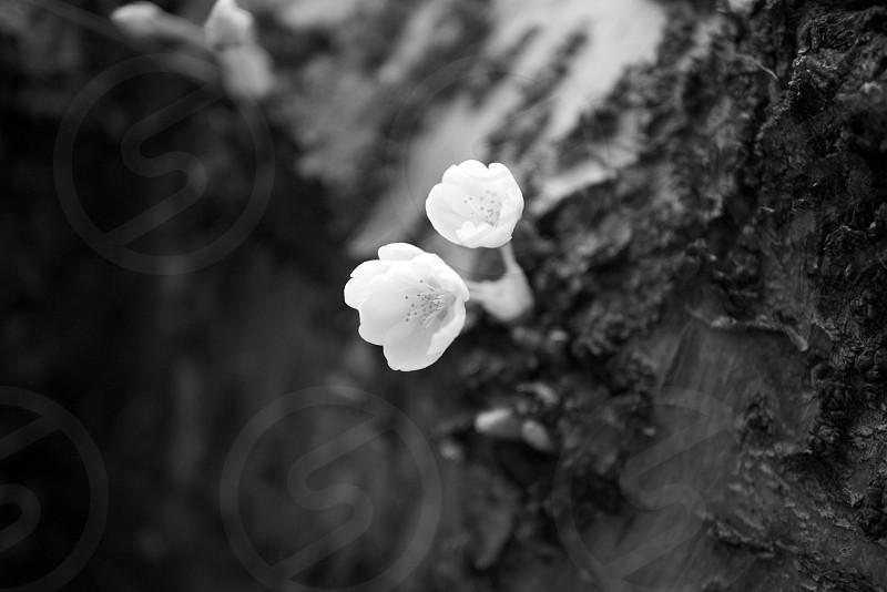 Small cherry blossom black and white photo