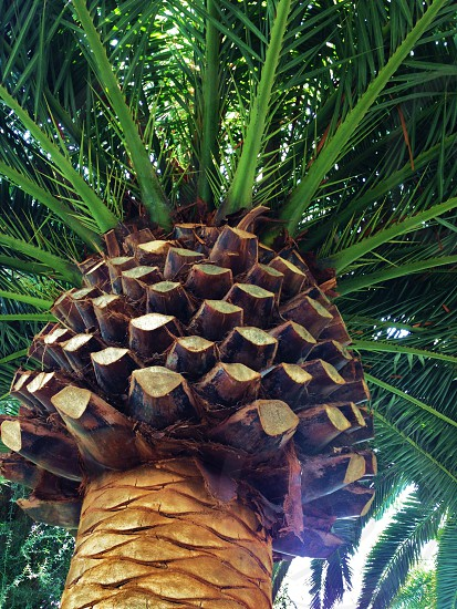 Looking up at the underside of a palm tree photo