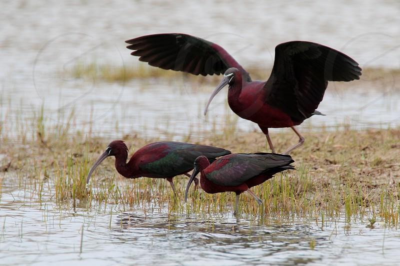 Glossy ibis photo