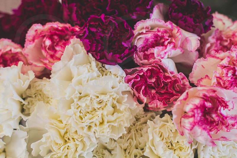carnations.  photo