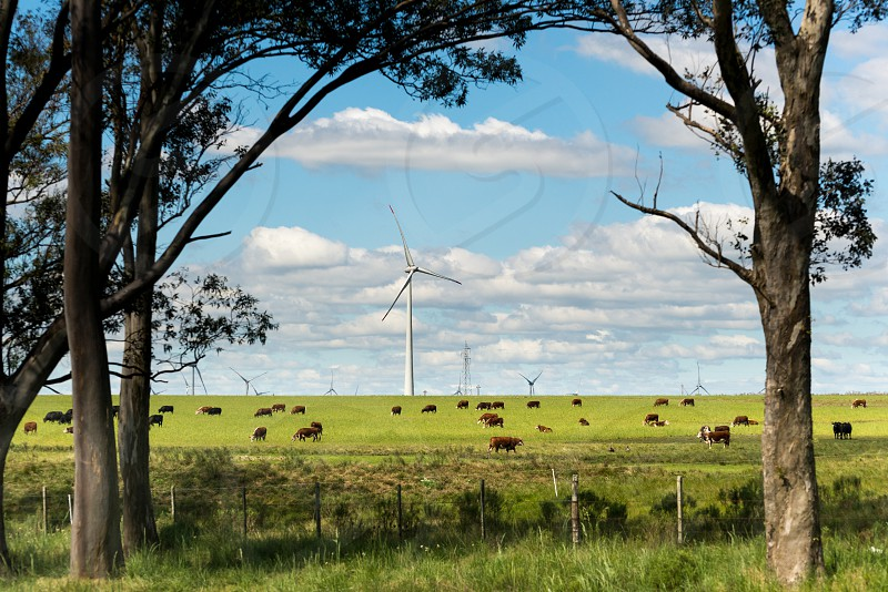 View of the huge wind farm and cattle grazing around the place pretty close to Paso de los Toros Tacuarembó Uruguay.  photo