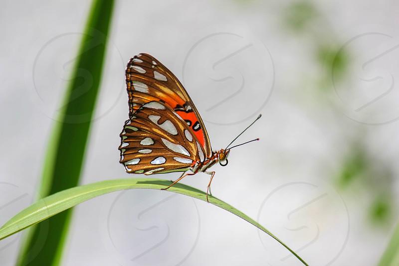 Passion butterfly  Yucatan Peninsula Mexico photo
