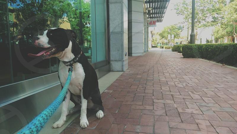 Pitbull/Boxer at Victoria Gardens photo