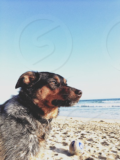 black and brown dog at the beach photo