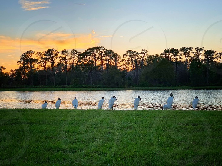 nature wildlife storks lake trees outdoors trail birds sunset golden hour evening sky sky amber  photo