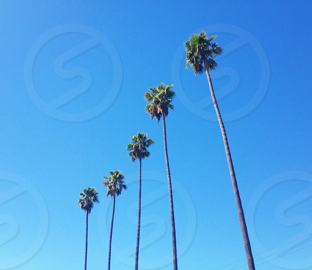 tall palm trees photo