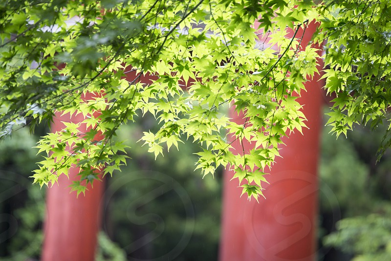 Fujiyoshida Japan forest nature green colorful color tourism trip travel tori temple red forest leaf acer photo