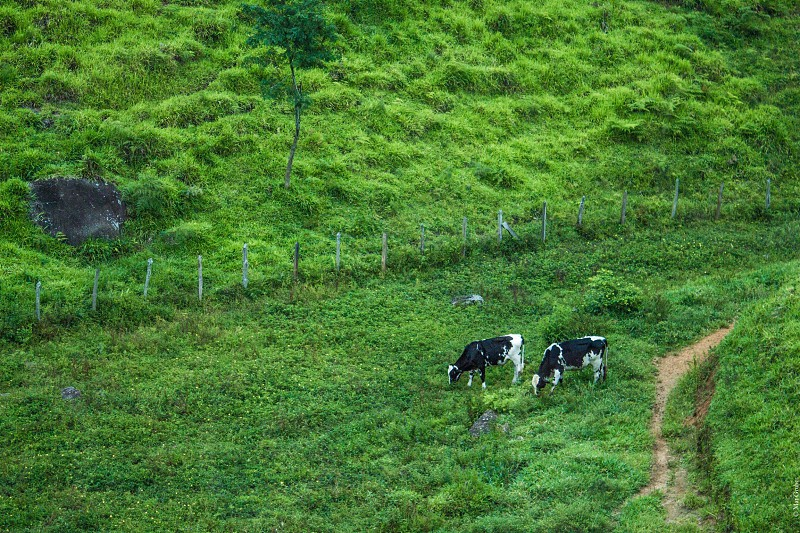 Cows farm animals hiking Brazil outdoors landscape photo