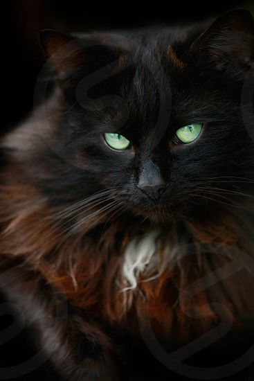 black and brown maine coon cat with green eyes photo