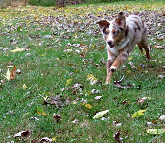 Red Merle Australian Shepherd running through the leaves. photo
