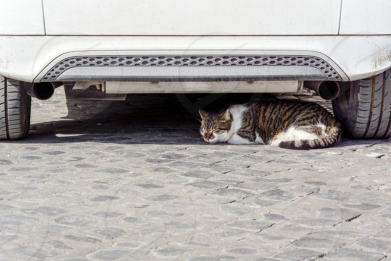 European cat sleeping under a white car photo