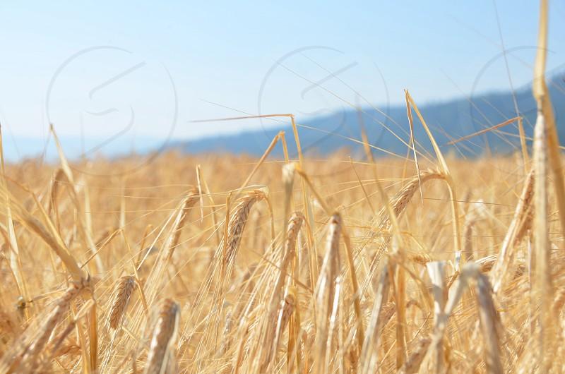 farm with wheat photo