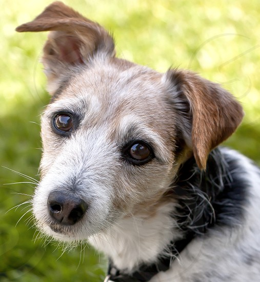 Close-up of a Jack Russell terrier looking inquisitively into the lens. photo