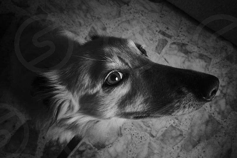 A close portrait to a deaf border collie. photo
