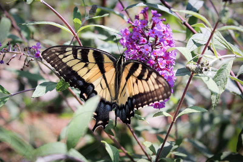 Butterfly flowers purple nature butterfly bush swallowtail  photo