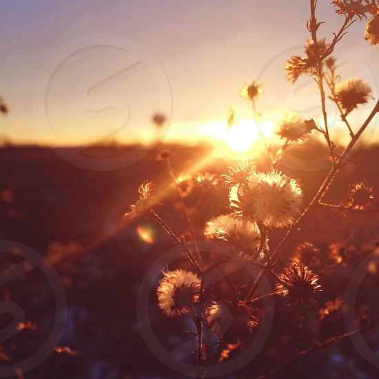 sunset dandelions view photo