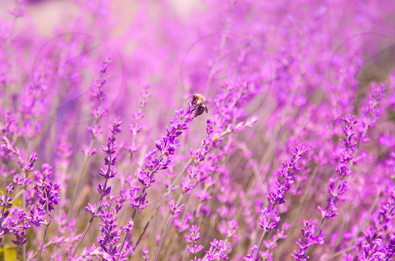 flying in the lavender farm photo