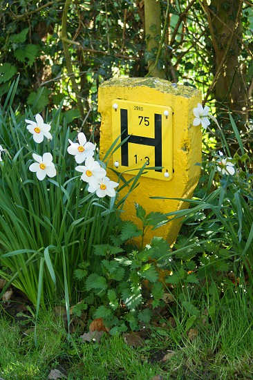 Yellow fire hydrant point UK daffodils grass photo