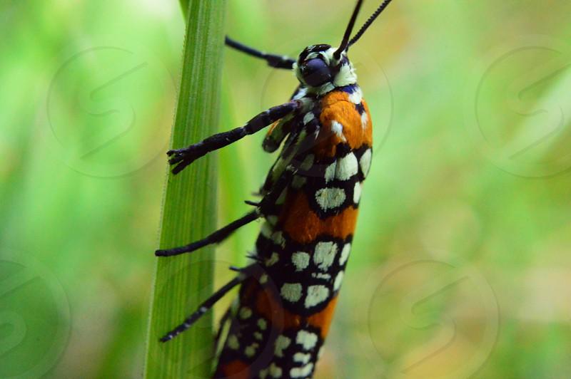 ailanthus webworm moth photo