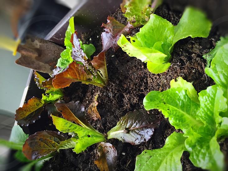 Lettucesangchuvegetable saladplantingspringspring timespring breakworkingsoil photo