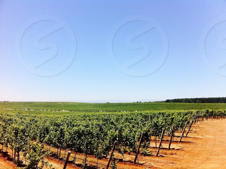 vines plantation photo