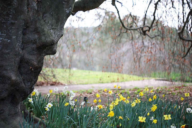 tree beside yellow daffodils  photo