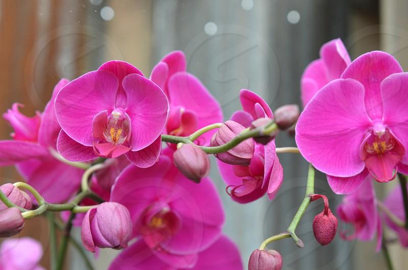 Hot pink fuchsia Phalaenopsis Orchid photo