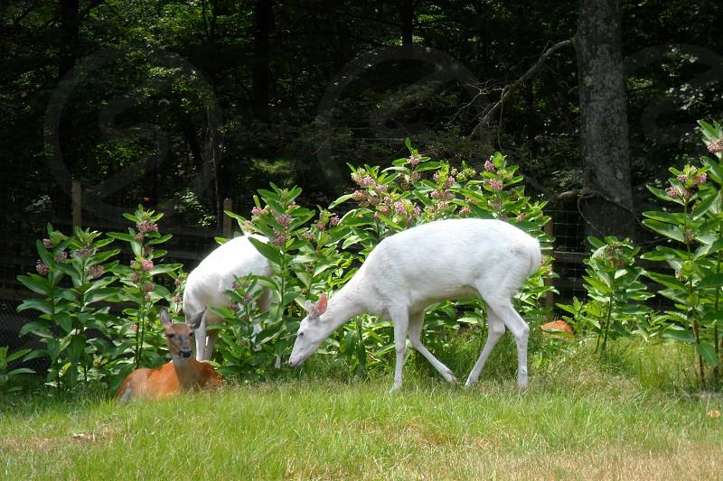 Albino Deer photo