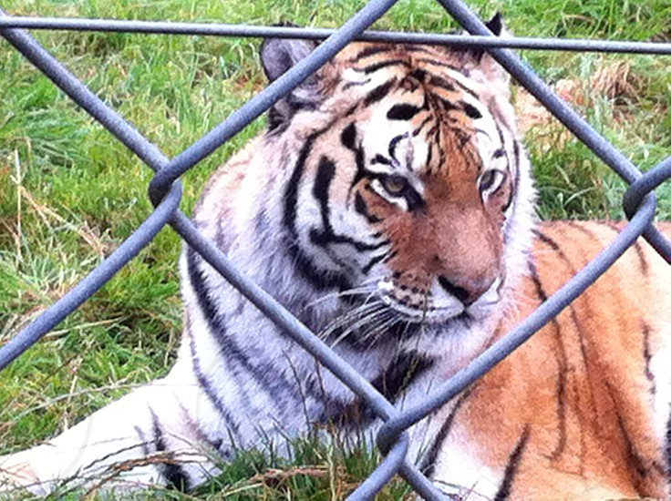 """A tiger taken during my visit to the filming location of """"we bought a zoo""""  photo"""