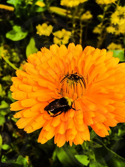 Lawn garden landscaping flower bumble bee photo
