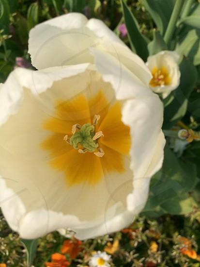 チューリップ(Tulip) photo