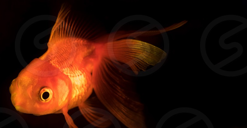 Single adult goldfish with fins swimming in aquarium isolated on black background. The fish float in the water column. Close up view. Animal pets concept photo