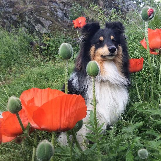 black and white long haired large sized dog near orange flower photo
