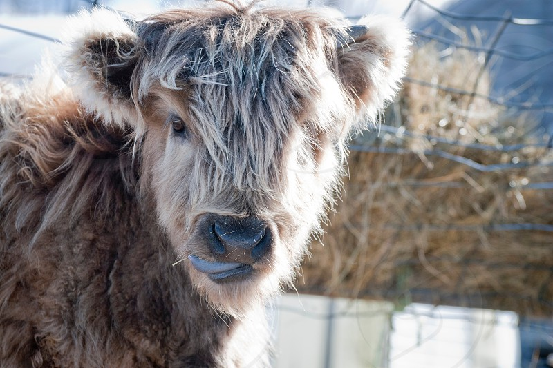 brown long haired cow near metal fence photo