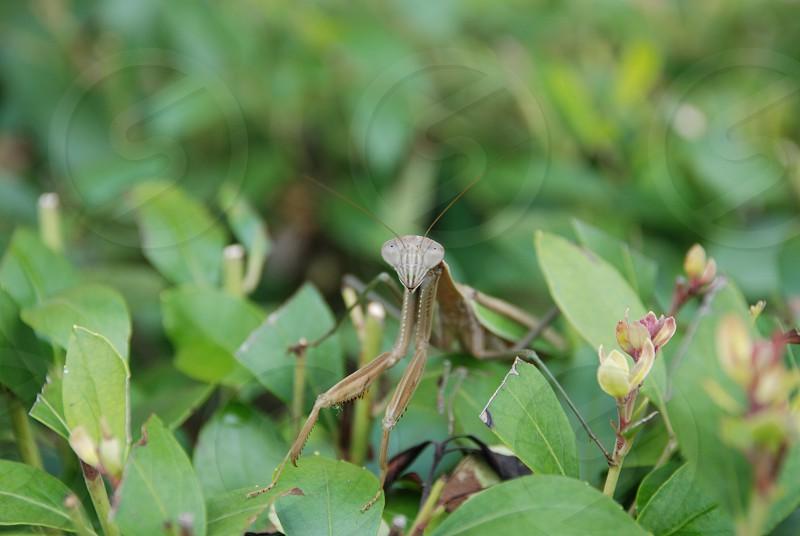 Praying Mantis in Bush photo