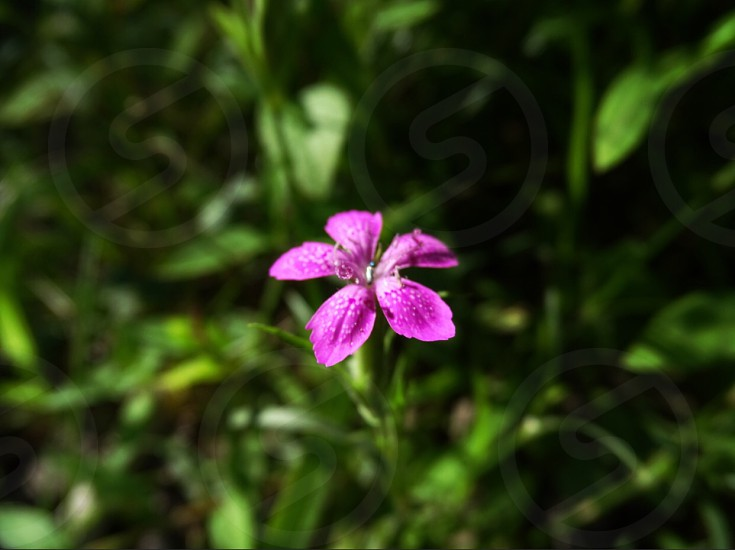 focus photography of pink 5-petaled flower photo