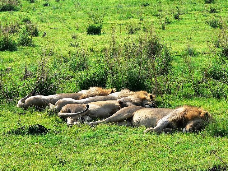 4 young male lions Serengeti National Park Tanzania  photo