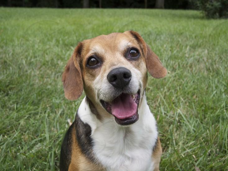 beagle in the yard photo