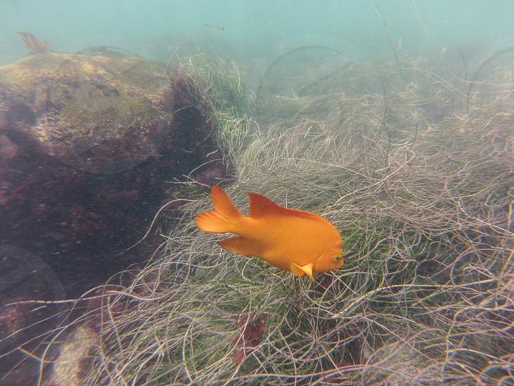 Garibaldi -- La Jolla Cove// San Diego CA.  photo