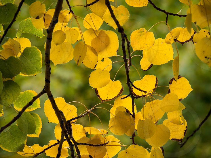 Light shines through the yellow and green leaves of a fall colored aspen tree creating a close to stain glass effect with the glowing leaves. photo